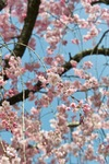 Cherry_Blossom04102010-2.jpg