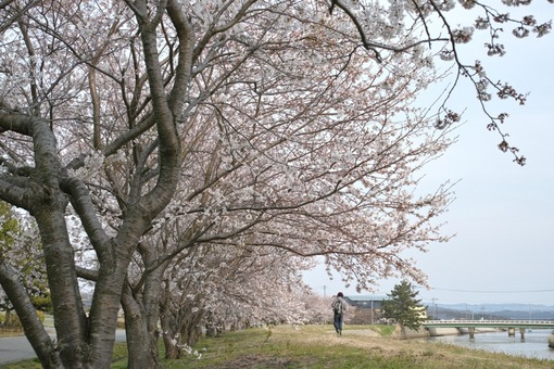 Cherry_Blossoms04132014dp2m05s.jpg