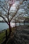 Cherry_blossom04292011dp1-01.jpg