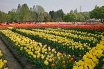 Tonami_Turip_Fair05062013dp1x.jpg