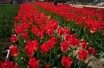 Tulip_Fair05052011nex5.jpg