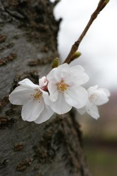 cherry_blossom04062013dp3m04.jpg