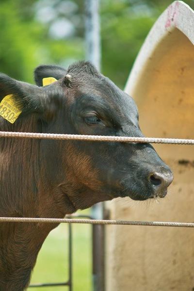 cow01012009.jpg