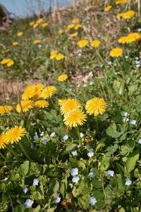 dandelion04092009d01.jpg