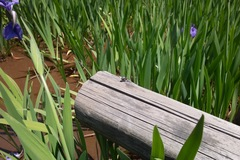 dragonfly05242011dp1-01.jpg